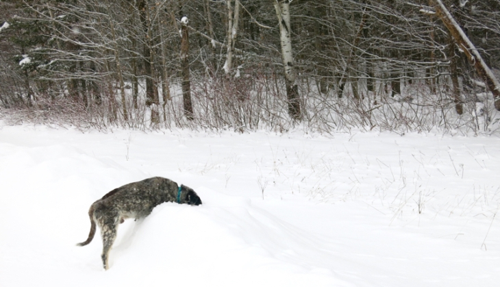 Tucker loves sticking his head in the snowbanks to sniff the small creatures that might scurry under the snow.