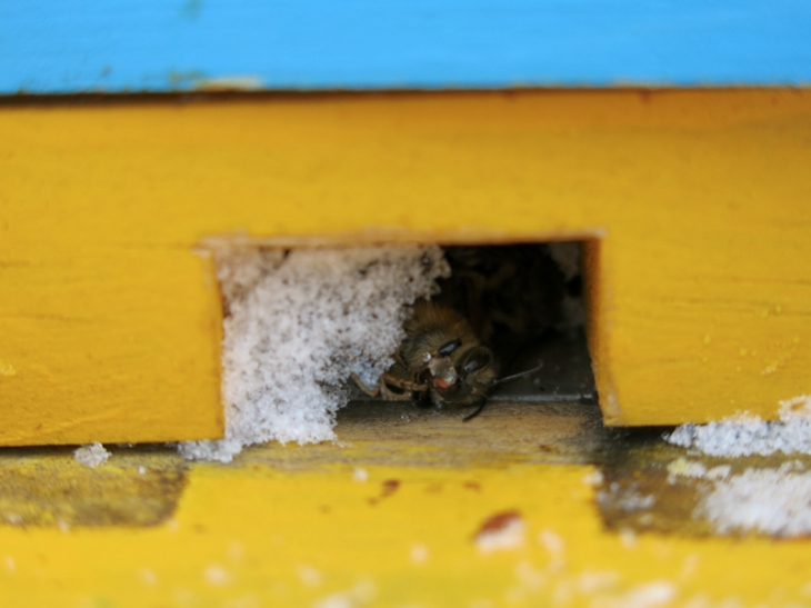 The worker bees bring out the dead to their doorway and drop them out. The snow blocked the door so some of the dead didn't quite make it out.
